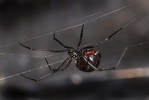 Latrodectus hesperus, black widow spider