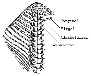 Interpretation of one arm of Ampullaster ubaghasi (Villebrunasteridae), view of oral test