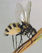 Root maggot fly killed by the insect-destroyer Entomophthora