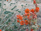 desert globe mallow in bloom in Joshua Tree National Park