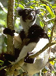 Indri sitting in tree