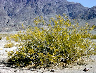 South American creosote bush, Larrea tridentata
