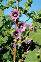 High mallow, Malva sylvestris