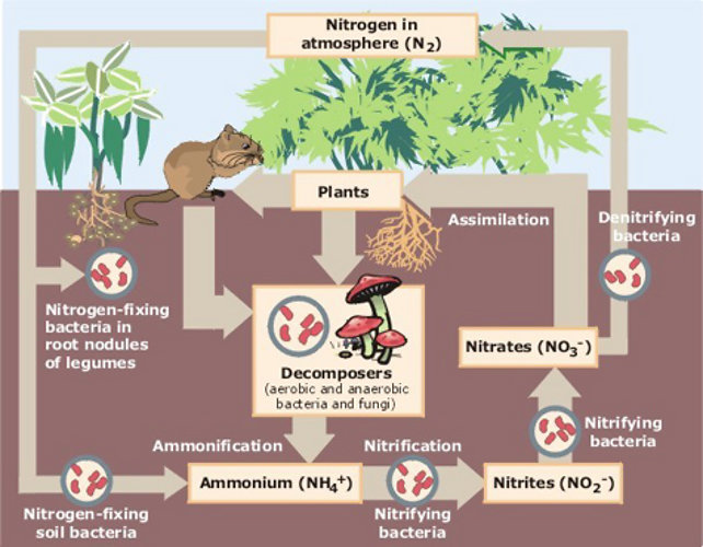 Nitrogen Fixation Can Occur Naturally As Well As Artificially Explain