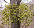 Mistletoe growing on the trunk of a whitebeam