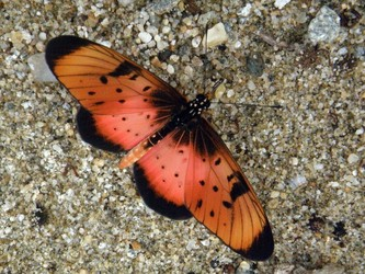 acraea natalica butterfly