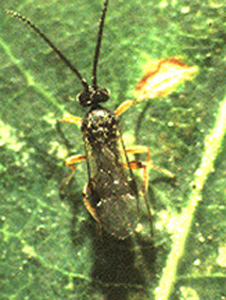 Microgastrine braconid adult female