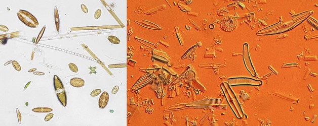 living and subfossil diatoms