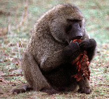 Adult male olive baboon (Papio anubis) eating meat