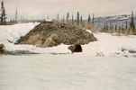Picture of a beaver in Alaska in front of it's lodge.