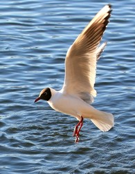 Black-headed gull in summer plumage