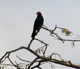 black caracara perched