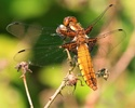 Broad-bodied chaser dragonfly, immature adult male