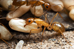 Camponotus festinatus workers and brood