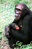 Chimpanzees (Pan troglodytes) mother with newborn infant