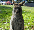 Eastern Grey Kangaroo (joey)