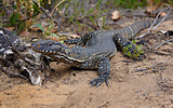 Heath Goanna