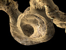 Atta texana, 3d model (portion)