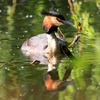 Great Crested Grebe