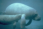 West Indian manatee cow and calf