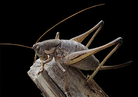 Mormon cricket (Anabrus simplex), Arizona