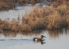 northern shoveler swimming