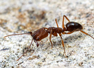 Odontomachus clarus, trap-jaw ant