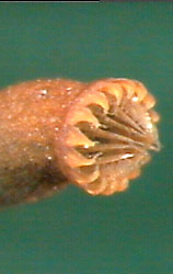 Closeup of the peristome of the capsule of Sematophyllum