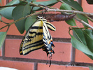 Two-tailed Swallowtail eclosed