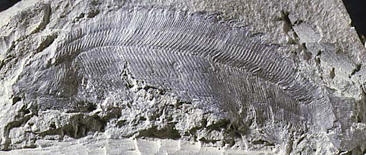 Pterygolepis nitidus fossil