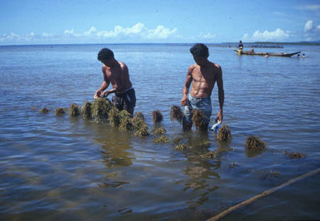Seaweed farmers tending a Kappaphycus line culture in the Philippines