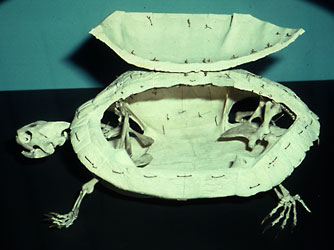 turtle skeleton