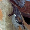 White-bellied tomb bat