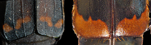 Diamesus (left) Nicrophorus (right)