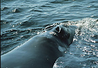 Baleen whales have two blowholes.