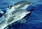 Two striped dolphins surfacing in a synchronized fashion.