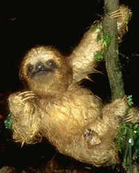 Three-toed sloth (Bradypodidae)