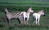 Plains zebra (Equus burchelli) with unusual markings, Serengeti