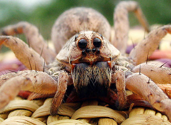 Wolf spider (Lycosa sp.) face, Arizona
